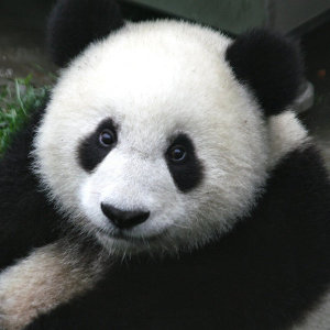http://en.wikipedia.org/wiki/File:Panda_Cub_from_Wolong,_Sichuan,_China.JPG