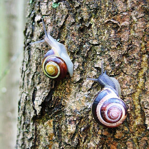 http://en.wikipedia.org/wiki/File:Cepaea_nemoralis_active_pair_on_tree_trunk.jpg